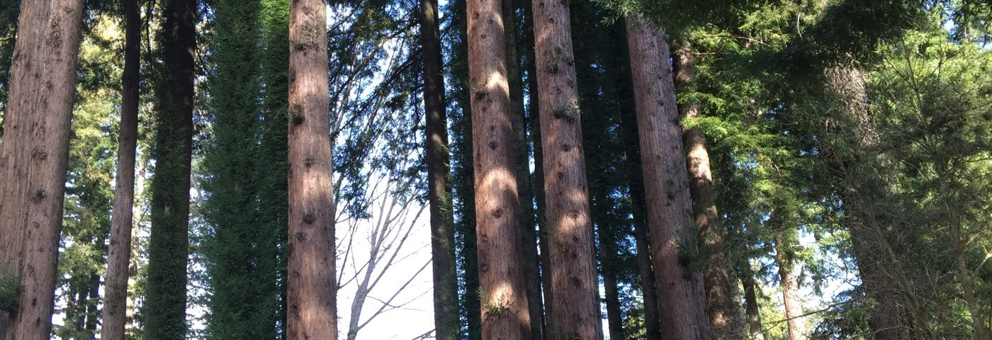 The Redwood Savior: My Lupus Journey Among the Trees
